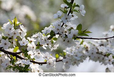 fleurs ressort, arbre, cerise