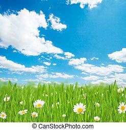fleurs ressort, camomille, pré
