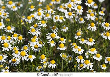 fleurs ressort, camomille, pré, saison