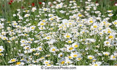 fleurs ressort, camomille, saison