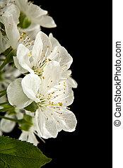 fleurs ressort, cerise