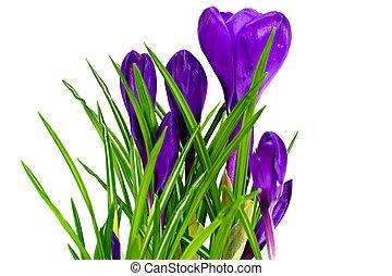 fleurs ressort, colchique