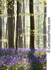 fleurs ressort, forêt, jacinthe des bois