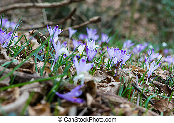 fleurs ressort, forêt, safran