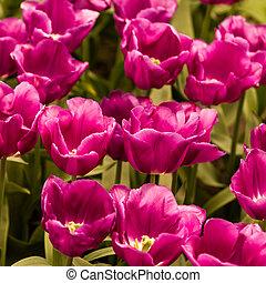 fleurs ressort, frais, tulips.