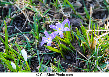 fleurs ressort, glory-of-the-snow, luciliae), (chionodoxa