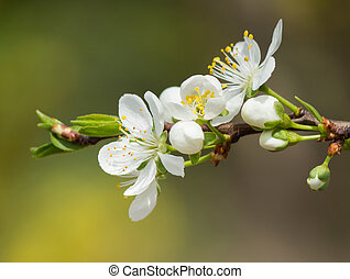fleurs ressort, plum.
