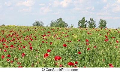 fleurs ressort, pré, coquelicots