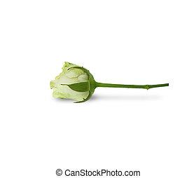 fleurs, rose, isolé, rose
