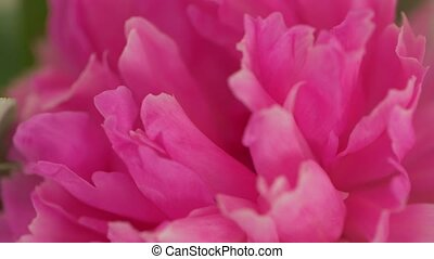 fleurs, rose, macro