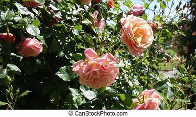 fleurs, rose, printemps, jardin, fleurir