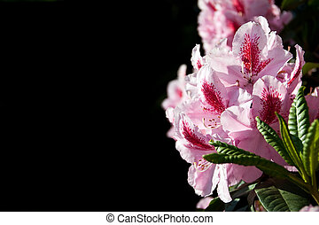 fleurs, rose, rhododendron