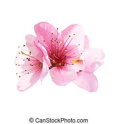 fleurs roses, blanc, amande, isolé