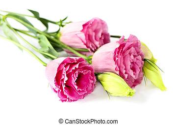 fleurs roses, isolé