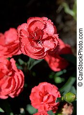 fleurs roses, jardin, oeillet