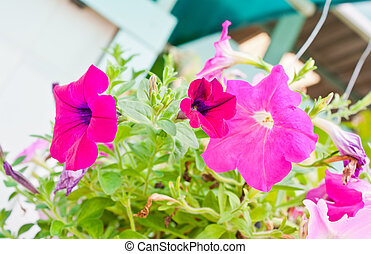 fleurs roses, jardin