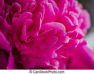 fleurs roses, jardin, pivoine