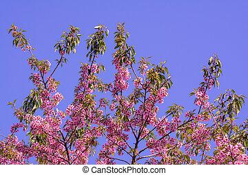 fleurs roses, pêche, printemps, branche arbre, fleurir, fleurs, rouges, bourgeons