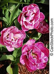 fleurs roses, pivoine