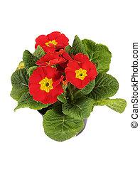 fleurs, rouges, isolé