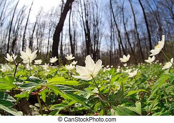 fleurs sauvages, forêt, anémone