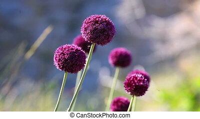 fleurs sauvages, oignon, violet