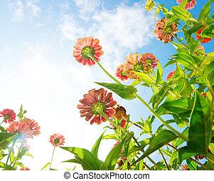 fleurs, sur, bleu, sky., zinnia, flower., automne, fleurs