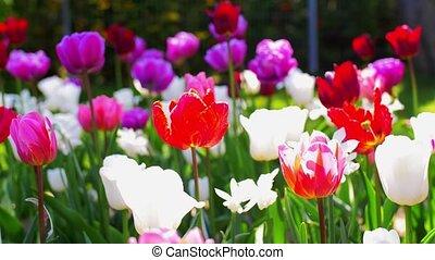 fleurs, tulipe, jardin, beau