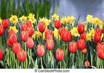 fleurs, tulipe, printemps