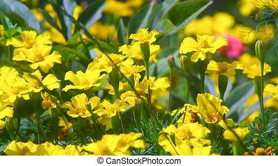 fleurs, vaciller, vent