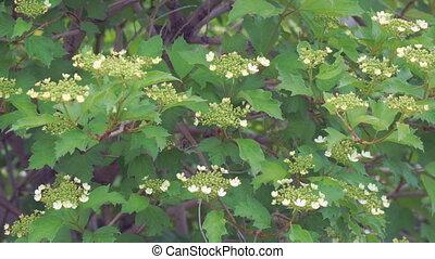 fleurs, viburnum, floraison