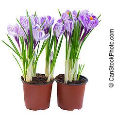 fleurs, violet, colchique