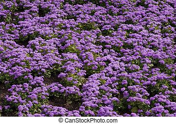 fleurs, violet