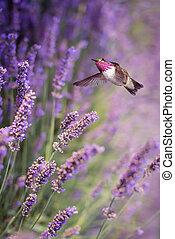 fleurs, vol, lavande, colibri