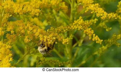 fleurs, yeux énormes, bourdon, jaune