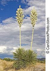 fleurs, yucca, soaptree, 4