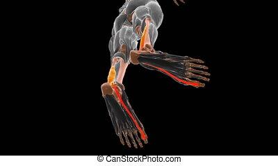 Flexor hallucis longus Muscle Anatomy For Medical Concept 3D Illustration