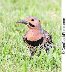 flicker closeup - Flicker standing in grass.