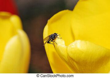 fliegen, auf, a, gelbe tulpe