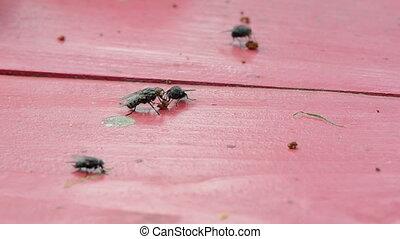 fliegen, insekt, closeup, rotes