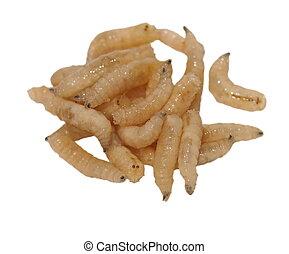 Wanzen bilder und stockfotos wanzen fotografie for Fliegen larve