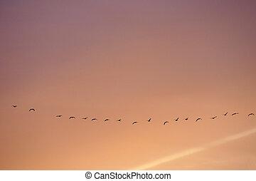 fliegendes, wild, gänse