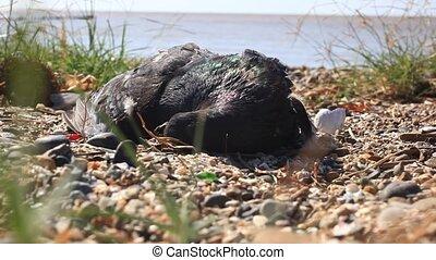 flies fly around dead birds on the shore dirty pebble beach....