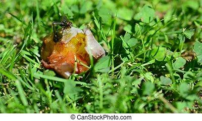 Flies on rotten plum - Macro of flies eating a rotten plum.
