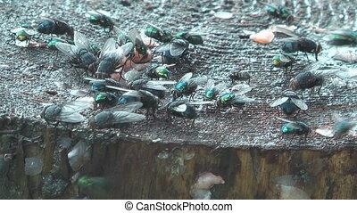 Flies. - HD 1080 shot of flies eat waste.
