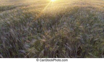 Flight above the ripe golden wheat field at sunrise. -...