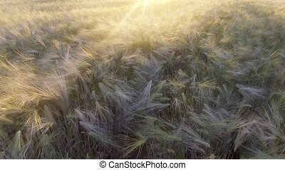 Flight above the ripe golden wheat field at sunrise. -...