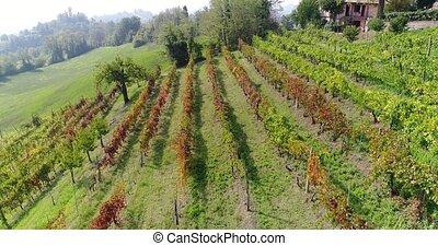 Flight along a small vineyardclose-up. Beautiful vineyard on...