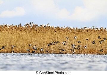 Flight ducks fly over the spring lake