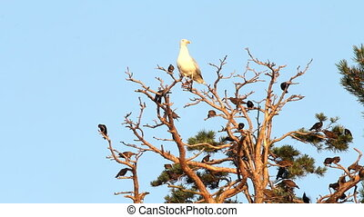 flight of birds of starlings and a big seagull on a tree. -...